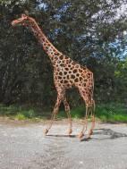 Giraffe 3m tall. Alan Ross.